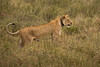 Lions of Maasai Kopjes 416 (Grete Howard) Tags: bestsafarioperator bestsafaricompany africa africansafari africanbush africananimals whichsafaricompany whichsafarioperator tanzania serengeti animals animalsofafrica animalphotos lions lioncubs maasaikopjes kopjes kopje