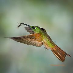 Fawn-breasted Brilliant (rickdunlap2) Tags: fawnbreastedbrillianthummingbird heliodoxarubinoides hummingbird animal bird ecua flight