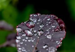 A Wet happening. (Omygodtom) Tags: wet leaf design flora fleur fog raindrop waterdrops outside contrast macro bokeh tamron tamron90mm natural nikkor d7100 dof nature nikon detail digital hoochie diamond star