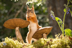 red squirrel  standing with mushroom (Geert Weggen) Tags: mammal nature animal red flower perennial closeup cute plant moss funny happy summer ground spring bright light autumn mushroom toadstool fall macro horizontal photography bud squirrel redsquirrel rodent taste geert weggen sweden bispgården jämtland ragunda geertweggen