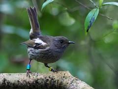 Hihi - female - Ym-BG (digitaltrails) Tags: stitchbird hihi karoribirdsanctuary karori bird sanctuary new zeland karorisanctuary notiomystiscincta newzealand zealandia