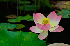 The End of the Lotus Blossom at the Turtle Pond (iseedre) Tags: lotusblossom petals turtlepond