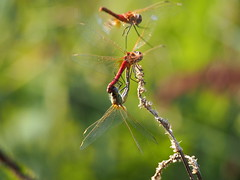 Dragonfly... (quarzonero ...Aldo A...) Tags: dragonfly nature natura macro coth coth5 sunrays5