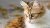 Haru Moine 12032017-Nº 0210--2 (EduBa66) Tags: cat cats gatosdomesticos animales animals gatita animalesdomesticos amarillo dorado pelos pelaje atencion atento