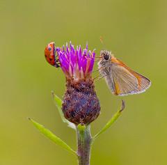 Thymelicus sylvestris - Coccinella Septempunctata (Ivan Lynas Nature Photography) Tags: