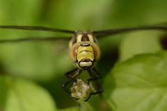 frons (willjatkins) Tags: frons dragonfly dragonflies odonata southernhawker hawker emergence metamorphosis imago aeshna aeshnacyanea insect insecthead dragonflyhead ukwildlife ukodonata ukdragonflies ukdragonfly ukdragonfliesanddamselflies britishwildlife britishodonata britishdragonflies britishdragonfly britishdragonfliesanddamselflies hertfordshirewildlife hertfordshireodonata hertfordshiredragonflies hemelhempstead hemelhempsteadwildlife closeupwildlife closeup macro macrowildlife nikond7100 sigma105mm pondlife gardenwildlife gardenpondwildlife gardenponds