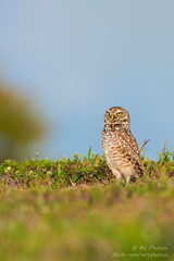 There's A Whole Big World Out There (ac4photos.) Tags: owl burrowingowl littleowl nature wildlife bird animal florida naturephotography wildlifephotography birdphotography owlphotography animalphotography nikon d500 tamron150600mm ac4photos ac