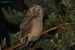 Long-eared Owl, Asio otus (Midlands Reptiles & British Wildlife Diaries) Tags: longearedowl asiootus david nixon cannock chase staffordshire fauna forest ecology ornithology stokeontrent midlands canon 7dmkii 100400mm night owls birds prey hunting chick