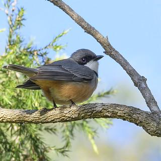small bird series:  ♂ rufous whistler