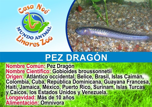 pez dragón