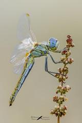 Sympetrum-fonscolombii female (mauro.santucci) Tags: sympetrumfonscolombii libellula odonata insetti insect macrofotografia