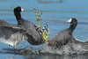 Coot Fight (Amy Hudechek Photography) Tags: coot bird fight feet water action nature wildlife amyhudechek nikond500