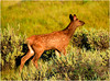 DO YOU KNOW WHERE MY MOMMY IS? (Aspenbreeze) Tags: elkfawn elk fawn babyelk elkbaby wildlife coloradowildlife wildanimal animal nature beverlyzuerlein bevzuerlein aspenbreeze country rural moonandbackphotography