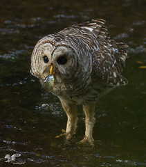 The Fishing Owls (Barred Owl) (The Owl Man) Tags: