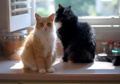 Jimmy and Batman (rootcrop54) Tags: jimmy orange ginger longhair male cat batman tuxedo kitchen counter window natural light multiple cats neko macska kedi 猫 kočka kissa γάτα köttur kucing gatto 고양이 kaķis katė katt katzen kot кошка mačka maček kitteh chat ネコ