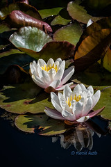 Water Lillies (ausmc_1) Tags: vegetation victoria 2017 flowers vancouverisland d800 water butchartgardens waterlillies canada outdoor britishcolumbia tamron70200dispusdvc white