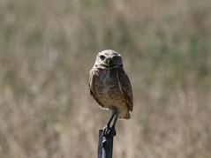 Burrowing Owl (fethers1) Tags: rockymountainarsenalnwr rmanwr rmanwrwildlife coloradowildlife bird burrowingowl