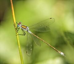 Emerald Damselfly (male) @ Carnon valley NR (trevyork1) Tags: damselflies emerald female