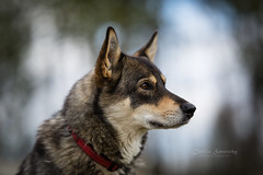 Arja (CecilieSonstebyPhotography) Tags: female bokeh dogportrait langedrag closeup canon5dmarkiii dog markiii bastard canon 135mmf18dghsmart017 portrait animal