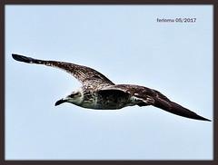 Huelva 13 Cormorán (ferlomu) Tags: andalucia ave cormoran ferlomu huelva