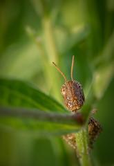 Hello (Jean-Luc Peluchon) Tags: fz1000 panasonic lumix color couleur vert green bug insecte sauterelle grasshopper faune wild wildlife flore flora macro
