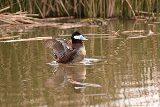 Ruddy Duck - Oxyura jamaicensis