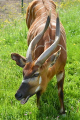 Eastern bongo (James L Taylor) Tags: chester zoo 31517 animal wildlife conservation eastern bongo tragelaphus eurycerus isaaci