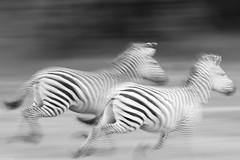 Zebra action (Pim Stouten) Tags: zebra sebra plainszebra burchellszebra motion blur bewegingsonscherpte southluangwa equusquagga commonzebra equusburchelli action actie aktion equusquaggaburchelli run flight vlucht