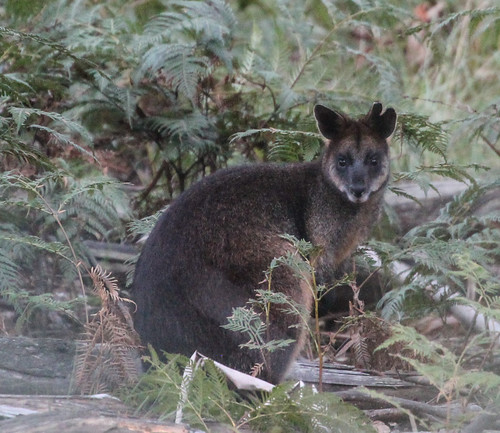Wallabia bicolor (Swamp Wallaby)