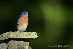_DSC2483 (sexton.ad) Tags: eastern bluebird nature bird wildlife nh sigma 150600mm