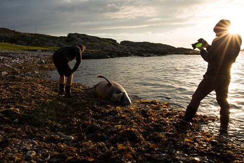 Dead Risso's dolphin