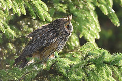 Long-eared Owl -  Blinked and I miss it ruffle! (Phil D 245) Tags: