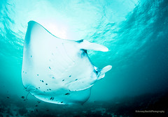 Reef Manta Ray, (Explored), Manta alfredi, Komodo, Indonesia (Jeremy Smith Photography) Tags: indonesia jeremysmith komodo mantaray reefmanta scubadiving sebayurdivers wideangleunderwaterphotography jeremysmithphotographycouk