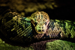 ssssssss (James Jacques) Tags: sony a7 70200 f4 fe snake python reptile animal wildlife scary eyes life creature praha prague zoo