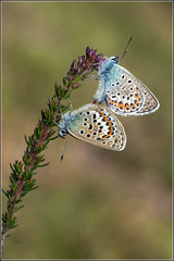 Silver-studded Blue - (Pair) (Ed Phillips 01) Tags: silverstudded blue butterfly plebejus argus pair mating insect shropshire
