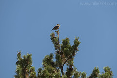 "Red Crossbill • <a style=""font-size:0.8em;"" href=""http://www.flickr.com/photos/63501323@N07/34632455264/"" target=""_blank"">View on Flickr</a>"