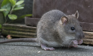 DSC_8879 Young Rat