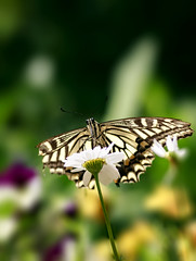 Swallowtail Butterfly (Johnnie Shene Photography(Thanks, 2Million+ Views)) Tags: swallowtailbutterfly swallowtail butterfly oldworldswallowtail lepidoptera papiliomachaon papilio nature natural wild wildlife livingorganism tranquility adjustment frontview lowangle perching resting bright sunlight daylight fulllength depthoffield bokeh wings limbs korea asia feeding animal insect bug macro closeup magnified photography vertical outdoor colourimage fragility freshness nopeople foregroundfocus interesting awe wonder feeler vivid sharpness stockphoto garden botany fabulous gorgeous stunning canon eos80d 80d tamron 90mm f28 11 lens 호랑나비 나비 곤충 접사 매크로 산호랑나비