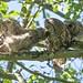 Mom Barred Owl Feeding Young (wmckenziephotography) Tags: barredowl bcbirds owlsofbc strixvaria owls wildowls