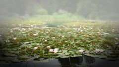 *** (pszcz9) Tags: polska poland przyroda nature natura staw pond pejzaż landscape ogródbotaniczny botanicgarden woda water beautifulearth sony a77 kwiat flower