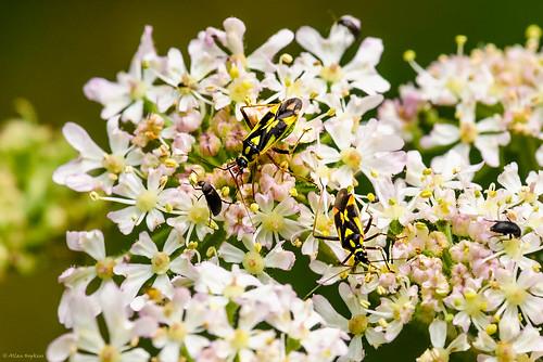 Mirid Bugs (Grypocoris (Calocoris) stysi)