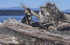 6/12B Jasper - taking in the view... (yookyland) Tags: 12monthsfordogs 2017 jasper 612 dog beach mountains island life