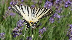 Mon bonheur du jour ;-)) (passionpapillon) Tags: macro nature papillon butterfly mariposa farfalla jardin lavande flambé le iphiclidespodalirius passionpapillon 2017