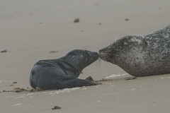 'Sealed With A Loving Kiss' (Barbara Evans 7) Tags: seal and pup horsey beach norfolk barbara evans7 commonharbour