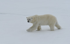 A majestic polar bear walking on sea ice (takashimuramatsu) Tags: polar bear polarbear svalbard lindbladexpeditions arcticantarctica arctic nikon d500
