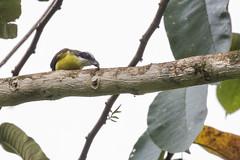 Boat-billed Flycatcher (J.B. Churchill) Tags: bobf birds boatbilledflycatcher costarica flycatchers heredia laselvaotsreserve places taxonomy cr laselva