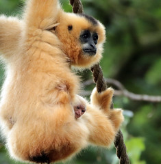 yellow cheeked gibbon artis BB2A4650 (j.a.kok) Tags: gibbon yellowcheekedgibbon goudwanggibbon artis animal aap ape mammal monkey mensaap zoogdier dier asia azie