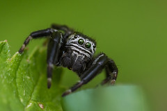 //°00°\\ (guillaume.randon) Tags: saltique macro araignée sauteuse sigma105mm nikond7200 kenko14