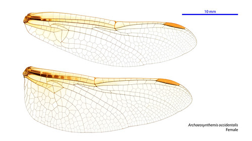 Archaeosynthemis occidentalis female wings
