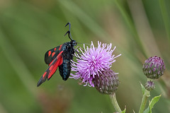 5-Spot Burnet Moth (Mister Oy) Tags: davegreen oyphotos oy ©oyphotos moth burnet amberswood hindley wigan greenheart fujixpro2 fuji50140mmf28 x14 insect macro close closeup
